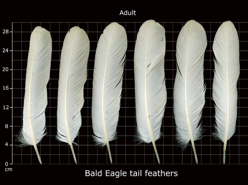mature bald Eagle tail feathers