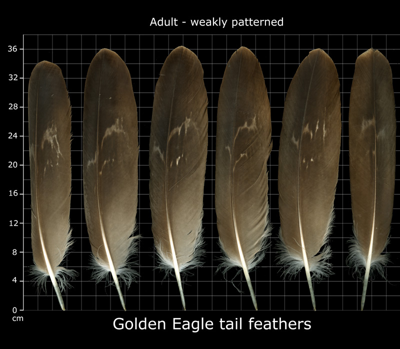 matute golden eagle tail feathers