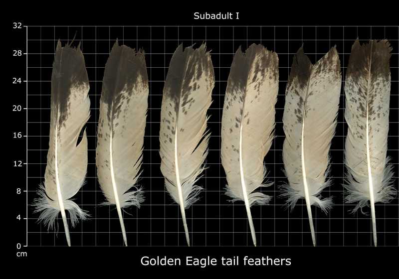 spotted eagle tail feathers (golden eagle instance)