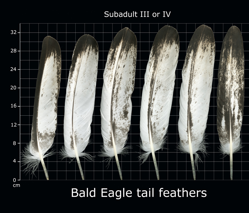 spotted eagle tail feathers (bald eagle instance)