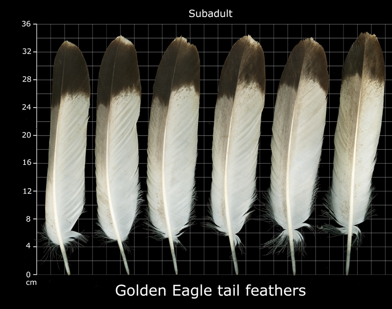 immature golden eagle tail feathers